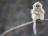 A Golden Snub-Nosed Monkey Infant Perches in a Highland Forest Fotografiskt tryck av Cyril Ruoso