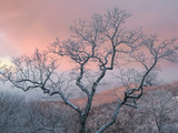 A Pink Dawn and Frosty Trees in the Blue Ridge Mountains Impresso fotogrfica por Amy & Al White & Petteway