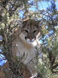 A Mountain Lion, Puma, or Cougar, Felis Concolor, Perched in a Tree Fotografisk tryk af Robbie George