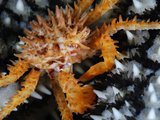 A Juvenile Alaska King Crab Crawls Over a Knobby Sea Star Photographic Print by Brian J. Skerry