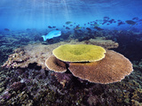 Healthy New Plate Coral Growth in a Lagoon on Kanton Island Photographic Print by Brian J. Skerry