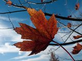 The Last of the Maple Leaves Hanging onto a Tree in Autumn Photographic Print by Amy & Al White & Petteway