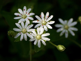 Close Up of Chickweed Flowers, Stellaria Pubera Photographic Print by Amy & Al White & Petteway