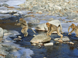 Snub-Nosed Monkeys Navigate Rocks and Rivers With Grace Photographic Print by Cyril Ruoso