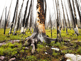 Remnants of a Forest Fire Along the Trail to Helen Lake Photographic Print by Keith Barraclough
