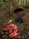 Acorns, Black Fungi and Pandanus Flowers Lead to a Vogelkop's Bower Photographie par Tim Laman