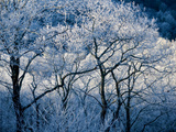 Rime Ice Covered Trees Photographic Print by Amy & Al White & Petteway