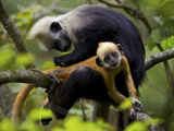 A White-Headed Langur Grooming a Juvenile in a Tree Photographic Print by Jed Weingarten/National Geographic My Shot
