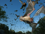 Mexican free-tailed bats fleeing Eckert James River Bat Cave Preserve. Photographic Print by Joel Sartore