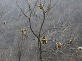Snub-Nosed Monkeys Forage in the Treetops Photographic Print by Cyril Ruoso