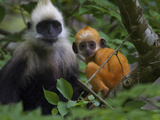 A White-Headed Langur an Infant in a Tree Photographic Print by Jed Weingarten/National Geographic My Shot
