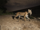 A Bobcat Crosses a Rio Grande Border Wall to Catch a Rat Photographic Print by Joel Sartore