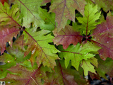 Oak Leaves Begin to Turn Red in Autumn Photographic Print by Amy & Al White & Petteway