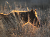 A Wild Chincoteague Pony at Sunset in Golden Sunlight Photographic Print by Robbie George
