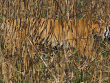 A Camouflaged Tiger Hunts Amid Tallgrass Photographic Print by Steve Raymer