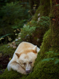 A Spirit or Kermode Bear, Resting on a Bed of Moss Photographic Print by Jed Weingarten/National Geographic My Shot