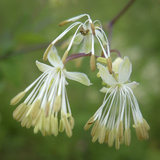 Close Up of Meadow Rue Flowers Photographic Print by Amy & Al White & Petteway