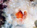 A Spine-Cheek Clownfish Nestles in Its Bulb Tentacle Sea Anemone Photographic Print by David Doubilet