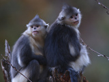 A Pair of Sibling Snub-Nosed Monkeys Sitting Together Photographic Print by Jed Weingarten/National Geographic My Shot