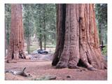 Sequoia Trees 1 Prints by  NaxArt