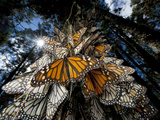 Millions of monarch butterflies travel to winter roosts in Mexico. Fotografisk tryk af Joel Sartore