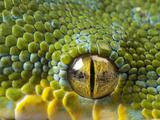 The Eye of a Green Tree Python, Morelia Viridis Fotografisk tryk af Joel Sartore