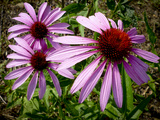 Close Up of a Purple Coneflowers, Echinacea Purpurea Photographic Print by Amy & Al White & Petteway