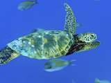 A Green Sea Turtle Swims Through a School of Striped Surgeonfish Photographic Print by Brian J. Skerry