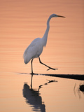 A Great White Egret, Ardea Alba, Stepping onto Shoreline Photographie par Robbie George