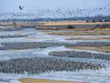 Half a Million Sandhill Cranes Roosting on the Platte River Photographie par Joel Sartore