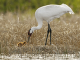 A Whooping Crane Female Offers An Insect to Its Hatchling Photographic Print by Klaus Nigge