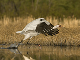 A Whooping Crane Female Flying Out of the Nesting Territory Photographic Print by Klaus Nigge