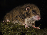 A Tree Mouse From New Guinea&#39;s Foja Mountains Photographic Print by Tim Laman
