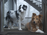 Portrait of Two Pet Australian Shepherd Dogs on a Wooden House Deck Photographic Print by Amy & Al White & Petteway