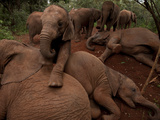The Oldest Orphan Elephants Lie Down to Invite the Younger Ones to Play on Top of Them Photographic Print by Michael Nichols