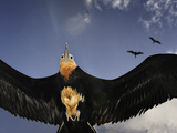 A Frigatebird Comes in for a Landing on Rawaki Island Reproduction photographique par Brian J. Skerry