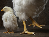 Two Chickens, Both Eight Weeks Old, But Vastly Different in Weight Photographic Print by Vincent J. Musi