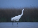 A Banded Whooping Crane in Aransas National Wildlife Refuge Photographic Print by Klaus Nigge