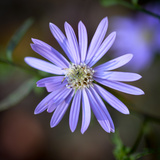 Closeup of an Aster Flower Photographic Print by Amy & Al White & Petteway