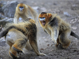A Male Snub-Nosed Monkey Snarls and Barks at His Territorial Rival Photographic Print by Cyril Ruoso