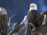 A Bald Eagle, Haliaeetus Leucocephalus, Perched in a Tree Stampa fotografica di Robbie George