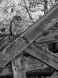 A Barred Owl, Strix Varia, Sits on a Farmer's Gate Stampa fotografica di Robbie George