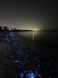 A Volcanic Beach Off Toyama Bay Glows Blue With Firefly Squid Photographic Print by Brian J. Skerry