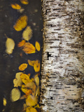 Leaves Float Past a Fallen Birch Photographic Print by Michael Melford