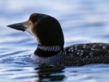 A Common Loon Swims on Little Clear Pond Photographic Print by Michael Melford