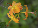 Close Up of Flame Azalea Flowers Photographic Print by Amy & Al White & Petteway