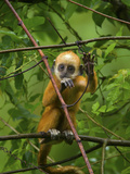 A Baby White-Headed Langur, Trachypithecus Leucocephalus, in a Tree Photographic Print by Jed Weingarten/National Geographic My Shot
