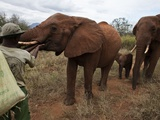 An Orphan Elephant That Transitioned Into the Wild Returns to the Voi Stockades Photographic Print by Michael Nichols