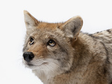 A Coyote at the Great Plains Zoo Photographic Print by Joel Sartore