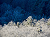Rime Ice Covered Trees, Some in Sunlight, Some in Shadow Photographie par Amy &amp; Al White &amp; Petteway